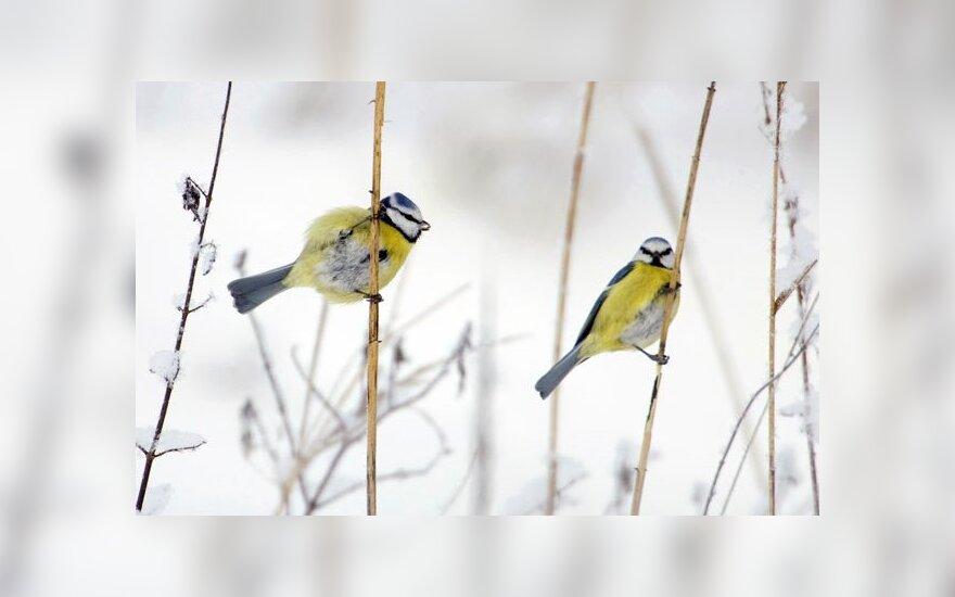 Tyrimas: lesyklos pakerta paukščių šansus rasti porą