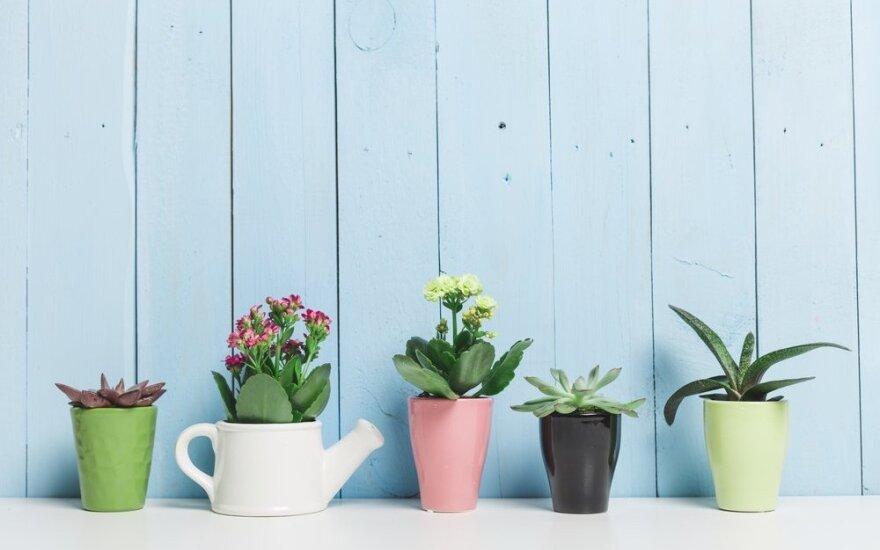 Kaip iš miego budinti kambarinius augalus?