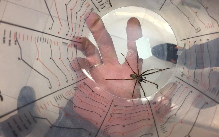 Vyras Lietuvoje nufotografavo jam nematytą didžiulį vorą: kas tai?