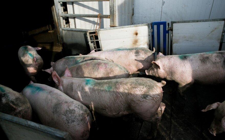 Dėl afrikinio kiaulių maro Lenkija prevenciškai išskers apie 181 tūkst. kiaulių