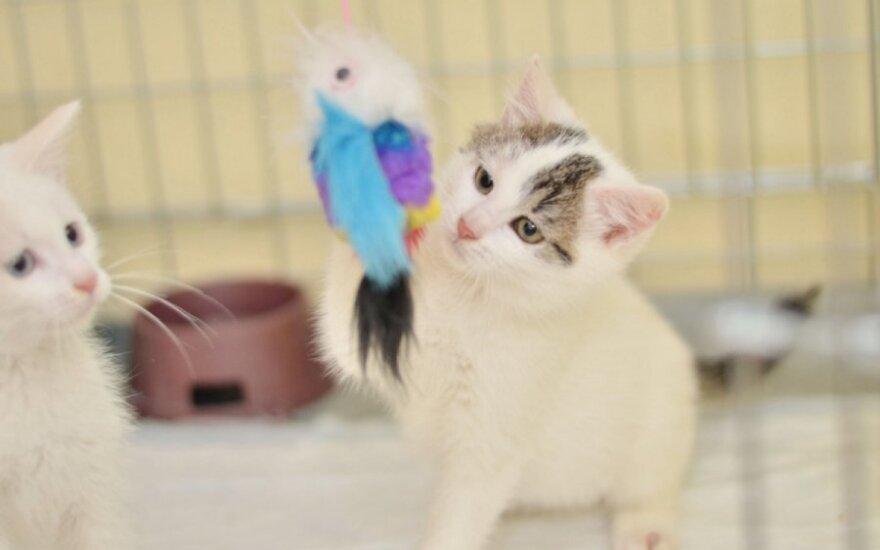 Trys žavūs 3,5 mėn. kačiukai ieško savo namų!