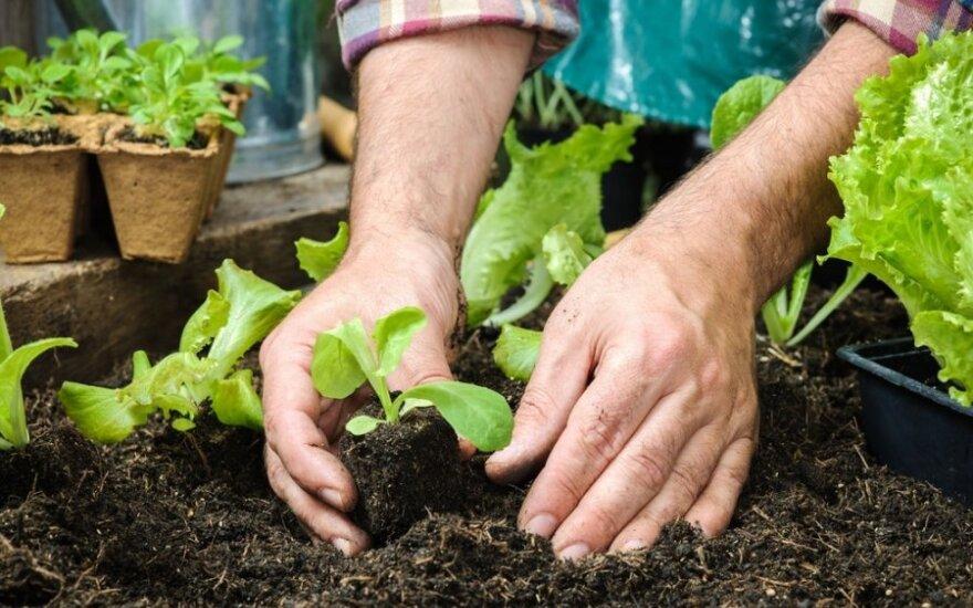 Hibridinių veislių sėklos - atsparesnės