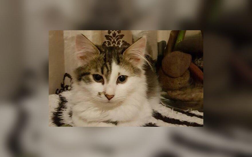 Žavi elegancija: katytė Amelija, kuri ieško namų