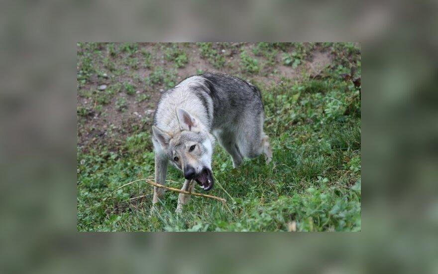 Šuns paieškos miestą sukėlė ant kojų