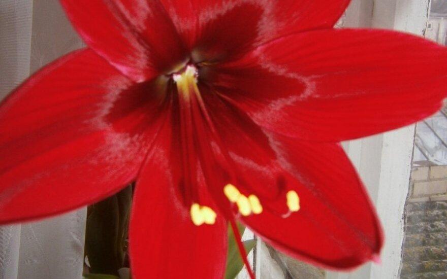 Pavasario džiaugsmai: pražydo gražuolis amarilis