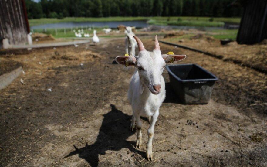 Atėjo Žaliosios medinės ožkos metai: jos nepastumdysi