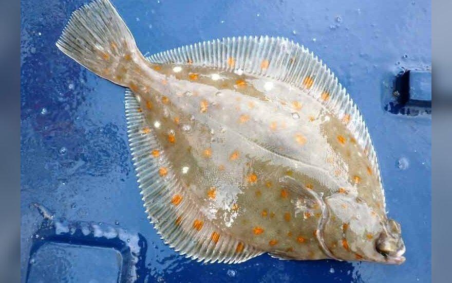 Šviežiai sugauta jūrinė plekšnė (Pleuronectes platessa)