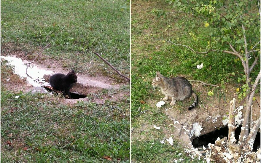 Beglobės katės Šiauliuose