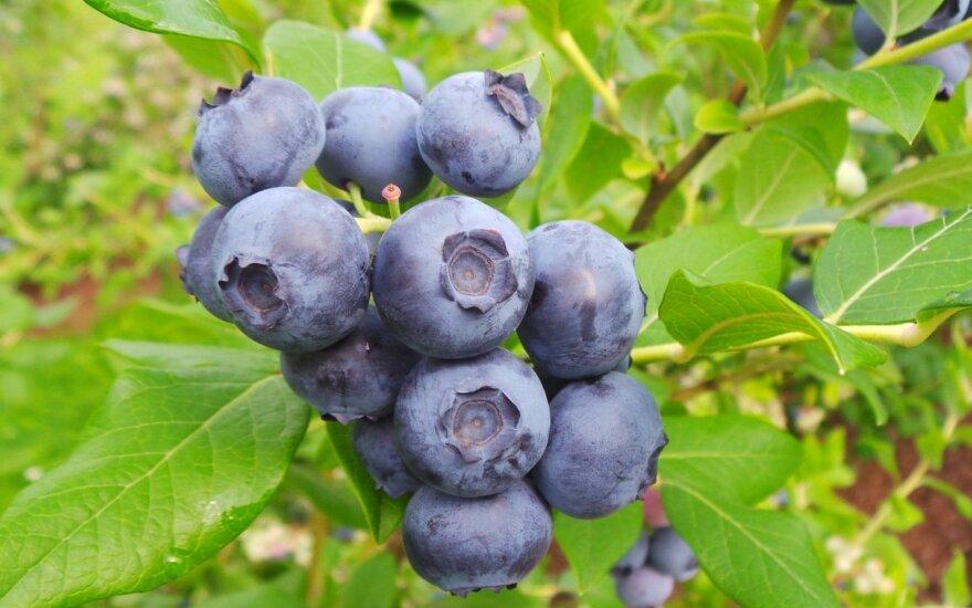 Siūloma PVM lengvata lietuviškiems vaisiams, uogoms ir daržovėms