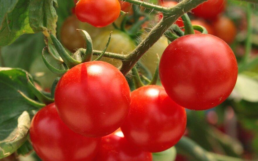 Agronomo patarimai, kaip sulaukti gausaus pomidorų derliaus