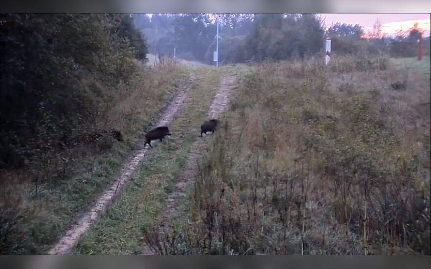 Tokių šnipų dar nematėte – šernai kerta Lietuvos sieną