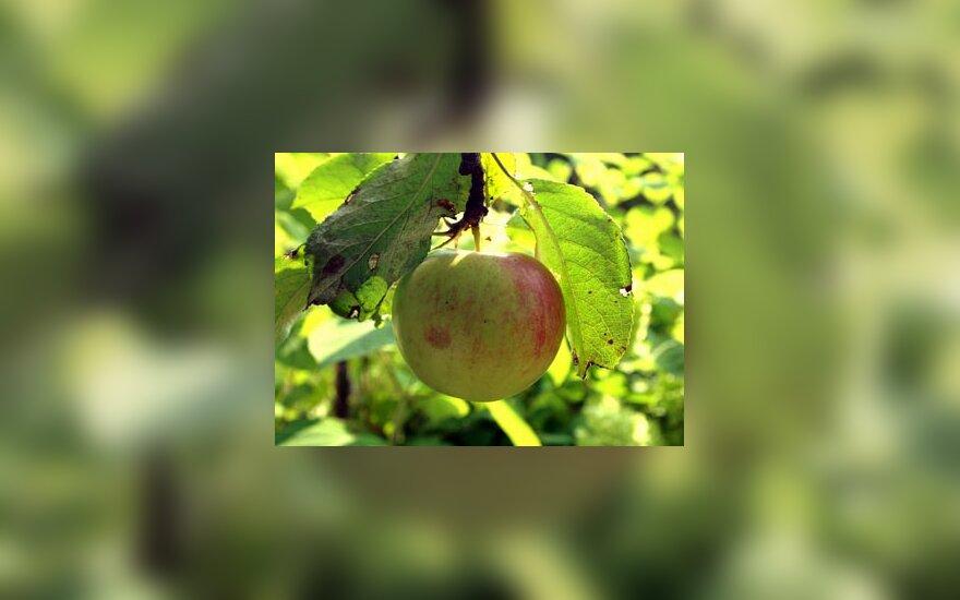Obuoliai, obelis
