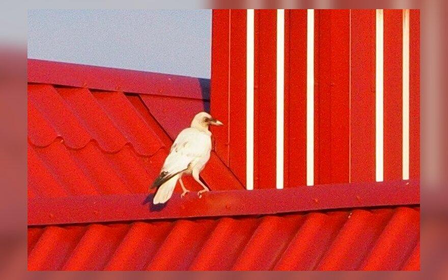 Vyras užfiksavo išskirtinį paukštį