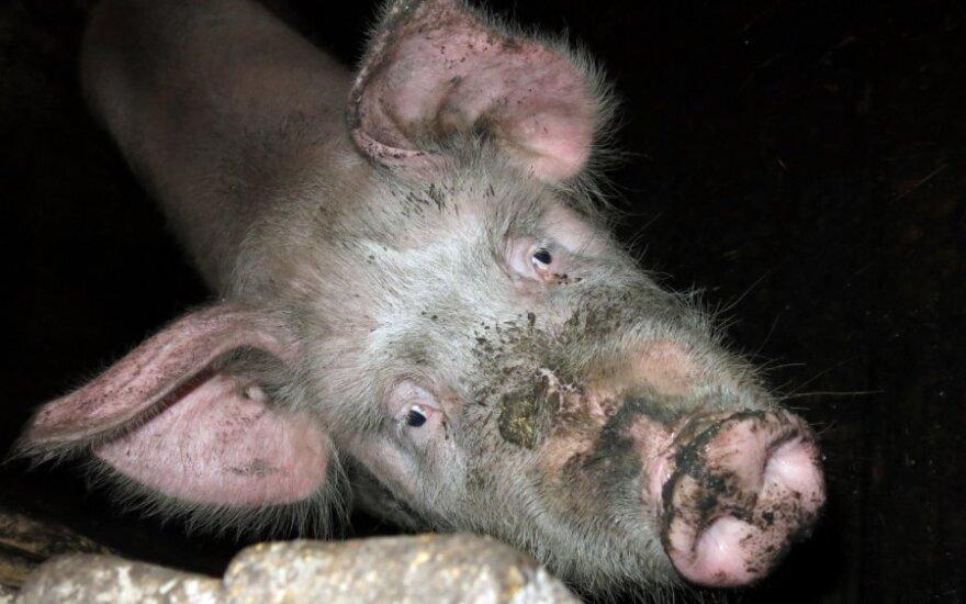 Nustatytas naujas afrikinio kiaulių maro židinys