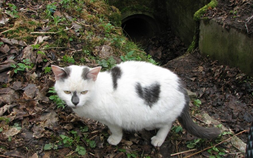 Vilniaus Sapieginės kačių didysis etmonas katinas Sapiega prašo pagalbos