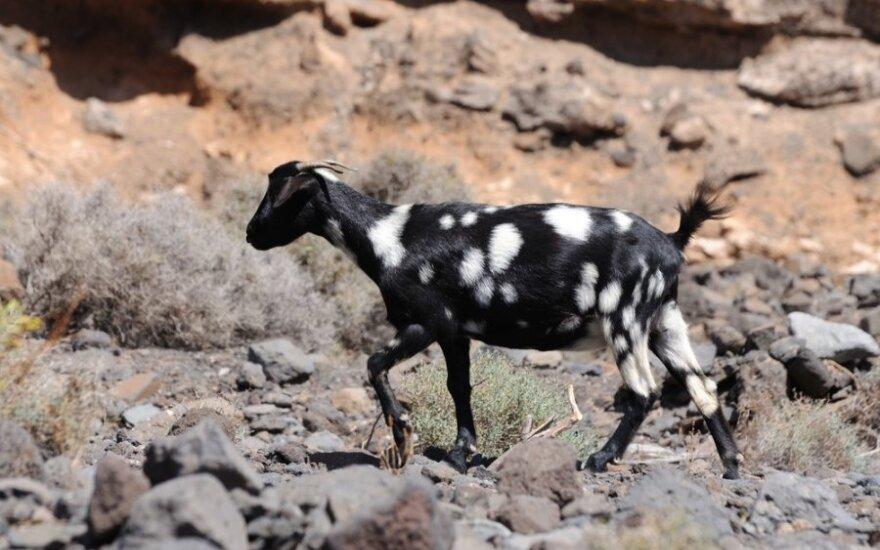 Stulbinantys Fuerteventūros kontrastai: tysoti paplūdimyje ar melžti ožkas?