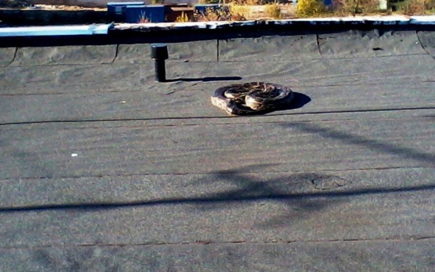 Kaune ant daugiabučio stogo rastas sušalęs pitonas