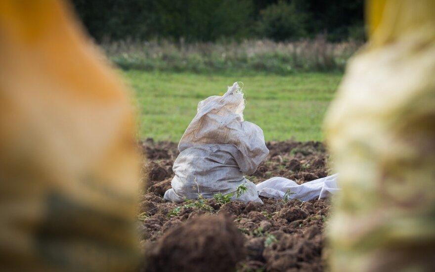 Permainos prekyboje – kas nukonkuravo lietuviškas bulves