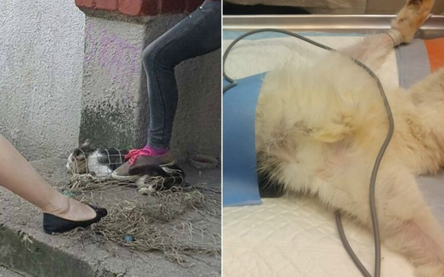 Katės gaudymas Alytuje