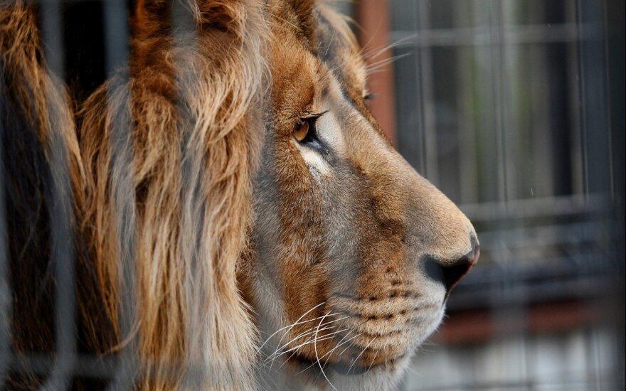 Barselonos zoologijos sode keturiems liūtams nustatyta koronaviruso infekcija