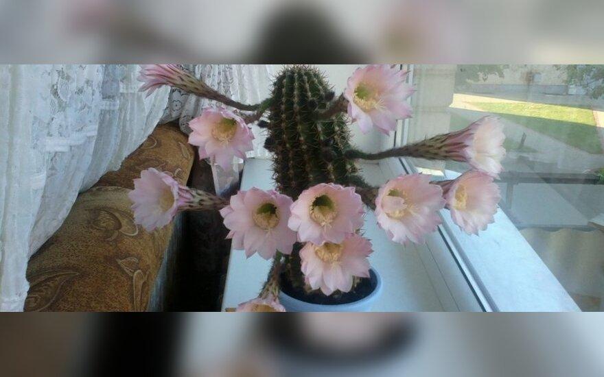 Rudeniškai nuotaikai praskaidrinti - 11 kaktuso žiedų