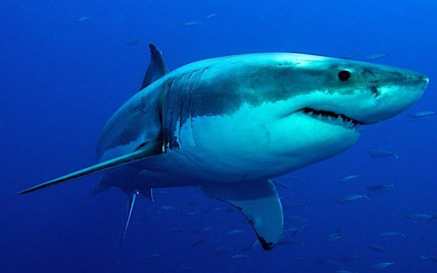 Didieji baltieji rykliai