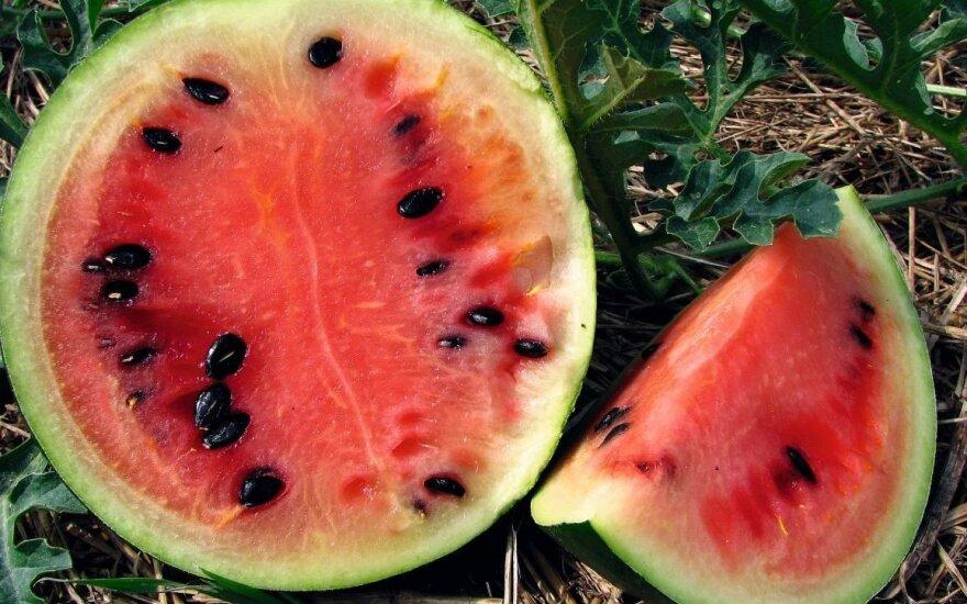 Užaugęs lietuviškos arbūzų veislės 'Kiemintai' vaisius