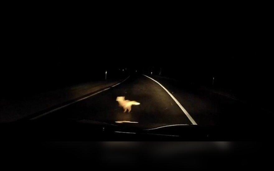 Kelyje nufilmavo iš tamsos išnirusį lapiuką