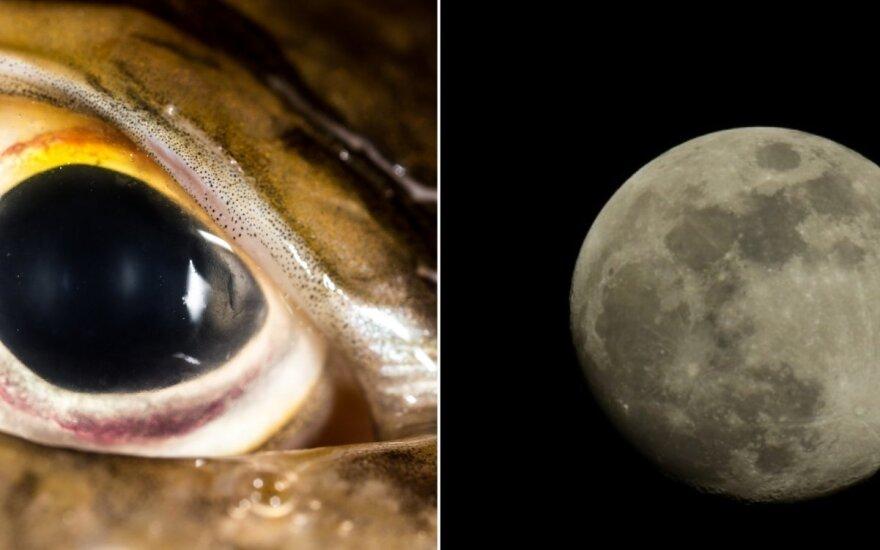 Lydekos akis ir mėnesiena
