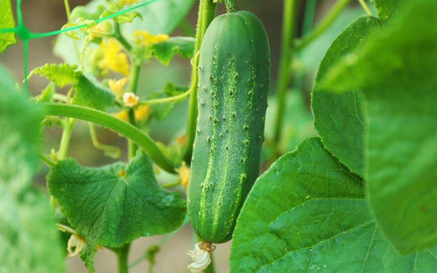 Kaip mielėmis tręšti pomidorus ir agurkus – rezultatai jus priblokš