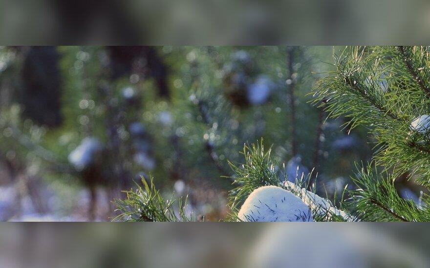 Šilta žiema - miškininkų galvos skausmas