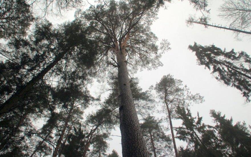 Ilgai teko įrodinėti, kad miškininko surasta pušis yra aukščiausia (asociatyvi nuotr.)