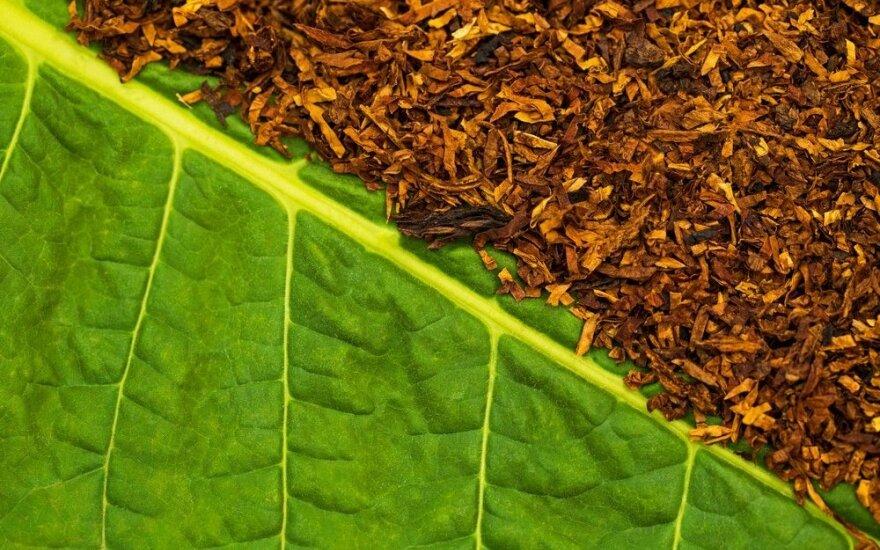 Tabako milteliai - ir trąša, ir priemonė nuo kenkėjų