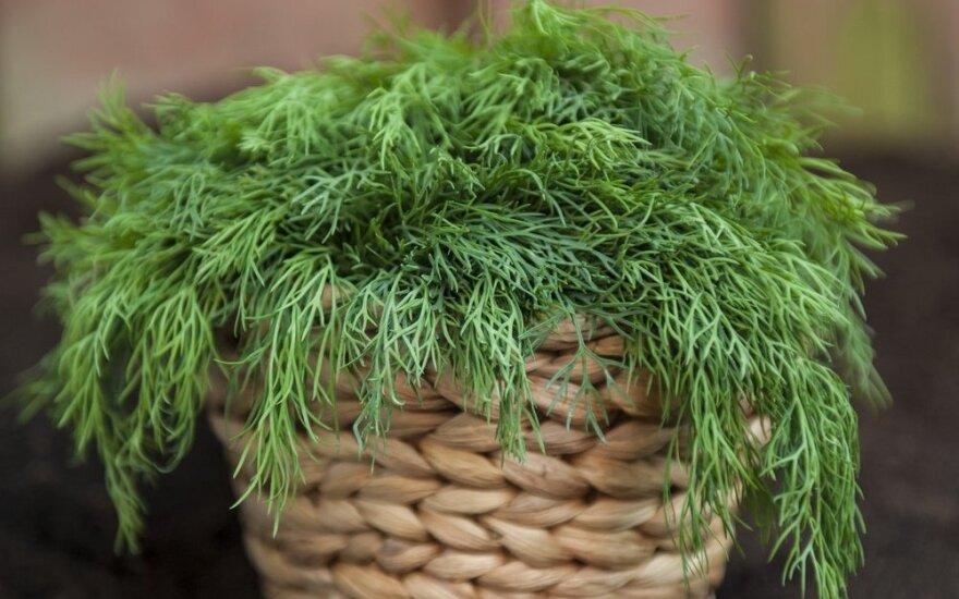 Natūralūs vaistai, augantys darže