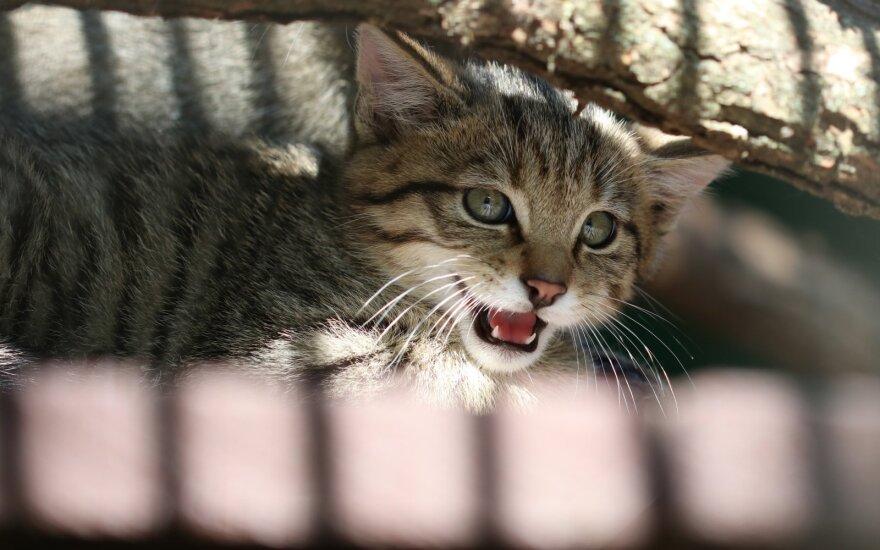 Retos rūšies kačiukas