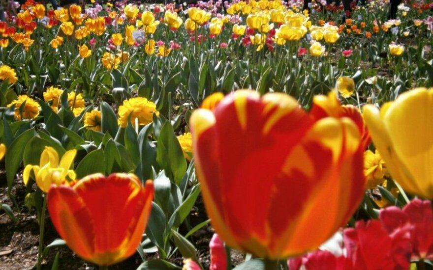 Įamžino įspūdingas įvairiaspalves tulpes