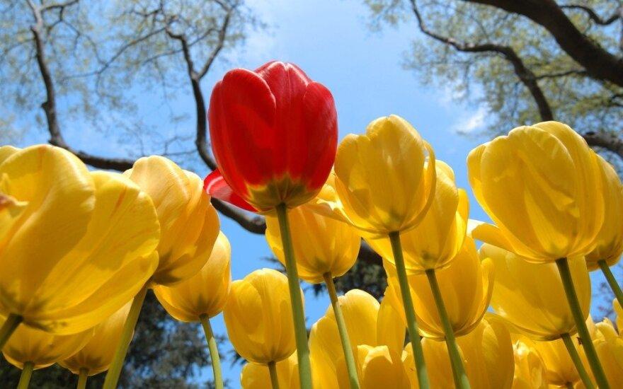 Keukenhofo parke tulpių žiedai džiugins turistus iki gegužės vidurio