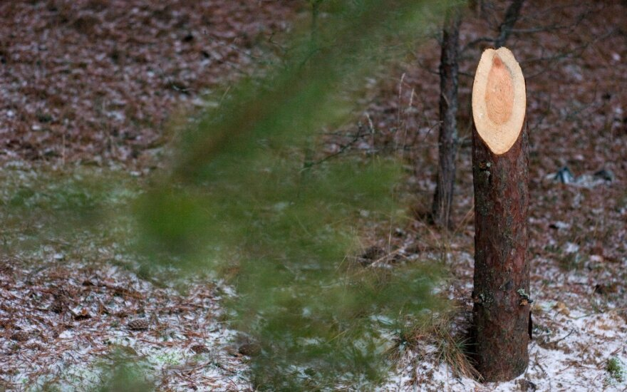 Miškininkai įspėjo, kokią staigmeną paruošė nelegaliems eglučių kirtėjams
