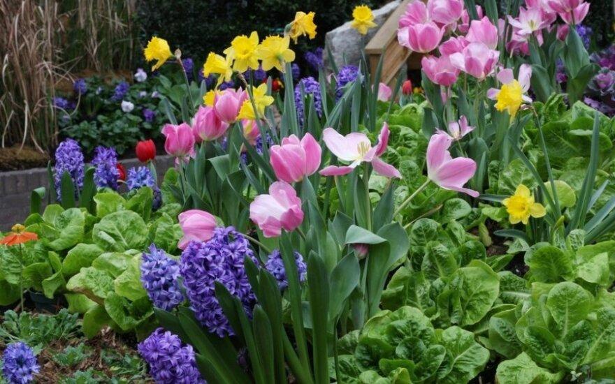 Kodėl nežydi tulpės ir kitos svogūninės gėlės?
