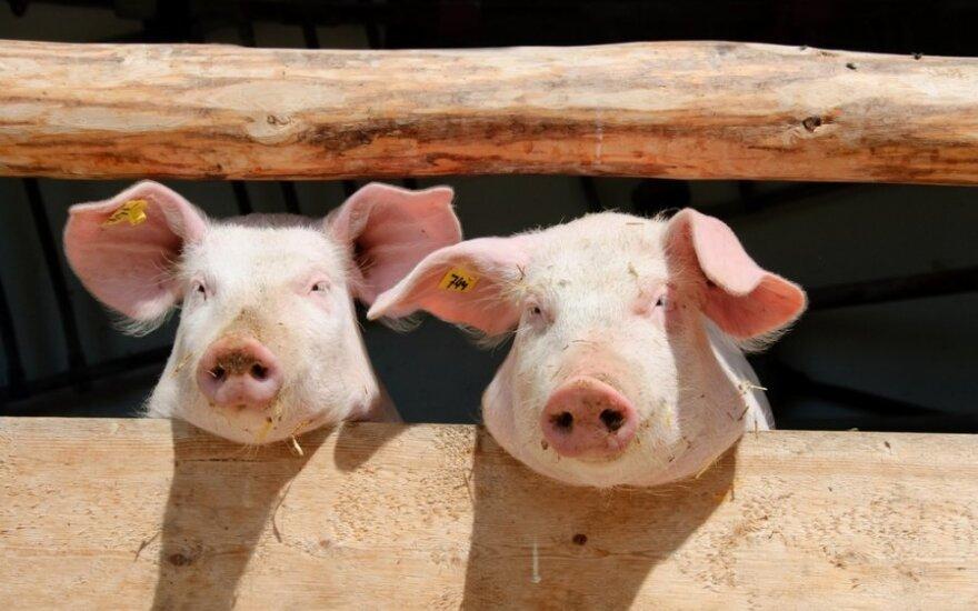 Kiaulių maras aptiktas jau ir Ukrainoje