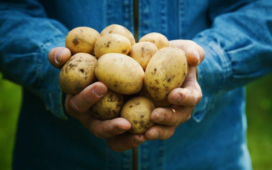 Grįžę emigrantai sukūrė ūkį, kad galėtų eksportuoti cepelinams tinkančias bulves
