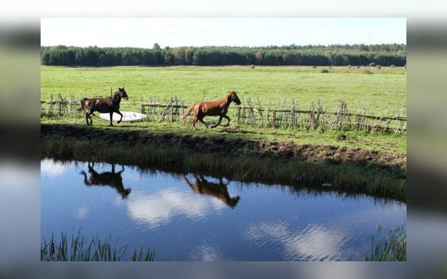 Žirgai Ajeras ir Geismas. M.Morkevičiaus nuotr