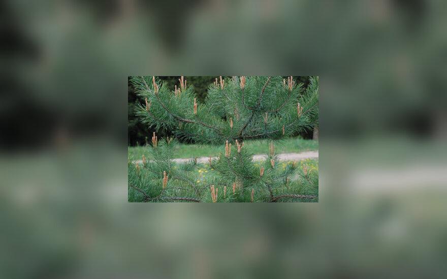 Pušis, medis, gamta