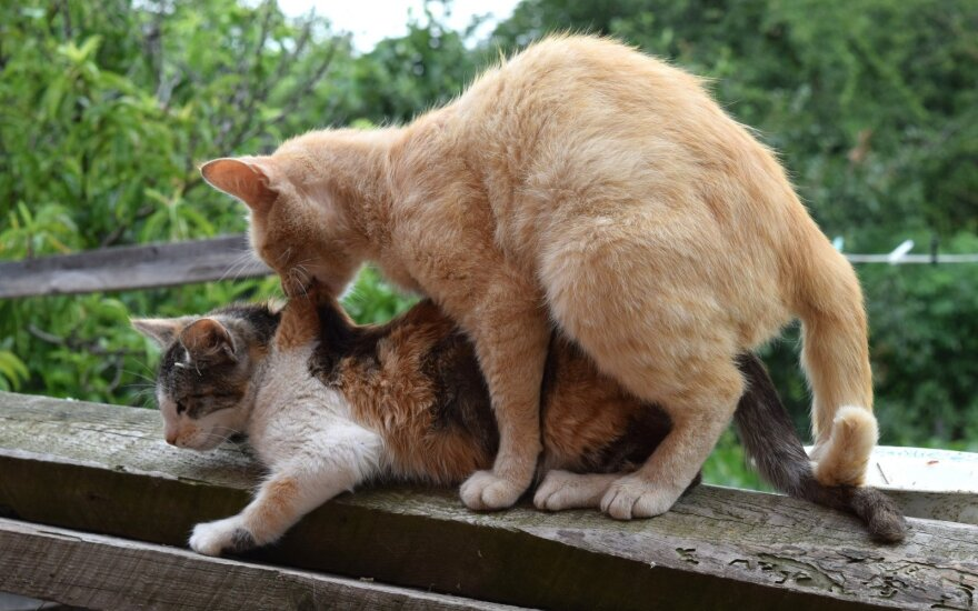 """Kas vyksta <span style=""""color: #c00000;"""">kačių <em>morčiaus</em></span> metu"""