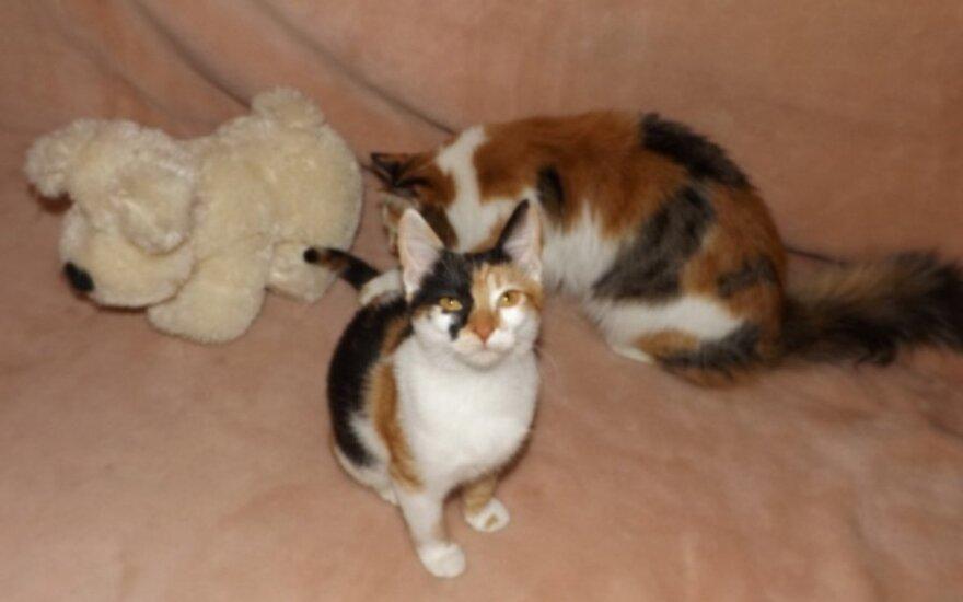 Antakalnyje dingo trispalvė katytė. Padėkite surasti!