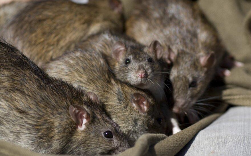Kraupi žiurkių invazija Vokietijoje – kai kur situacija nevaldoma