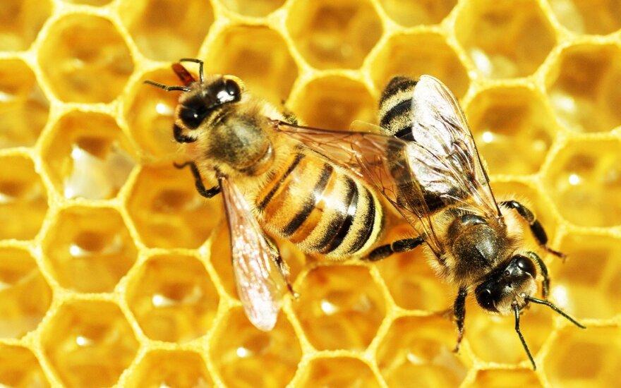 Iš kojų verčiantis atradimas: bitės gali suvokti sudėtingas matematines sampratas