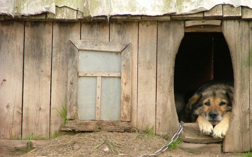 Šuo budoje