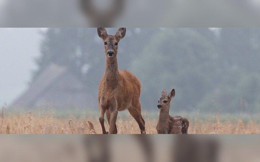 Ryto migloje per lauką keliauja stirna su jaunikliu