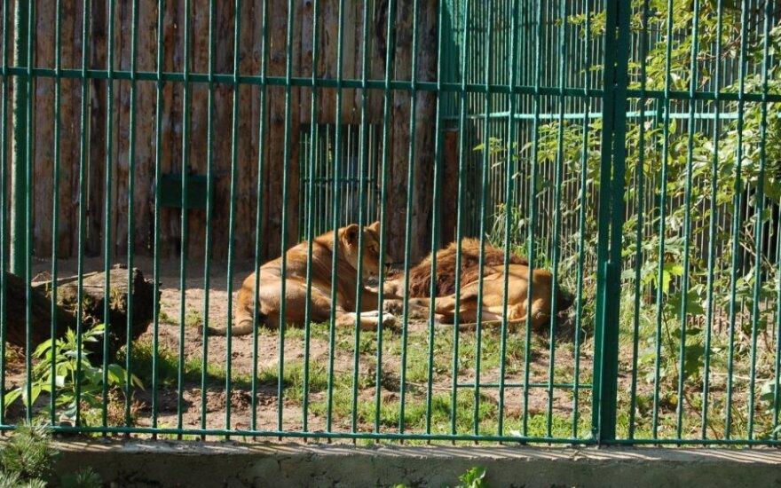 Liūtai Kauno zoologijos sode